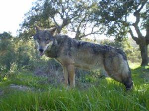 SIECE firma un documento para la protección del Lobo Ibérico en Andalucía
