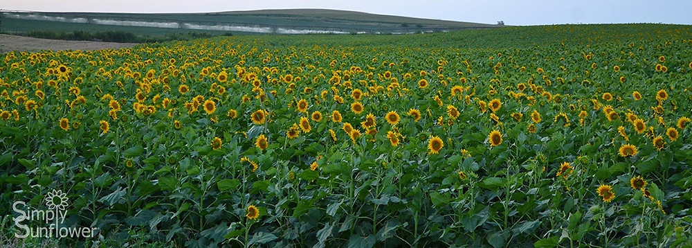 Simply Sunflower East-Facing Field