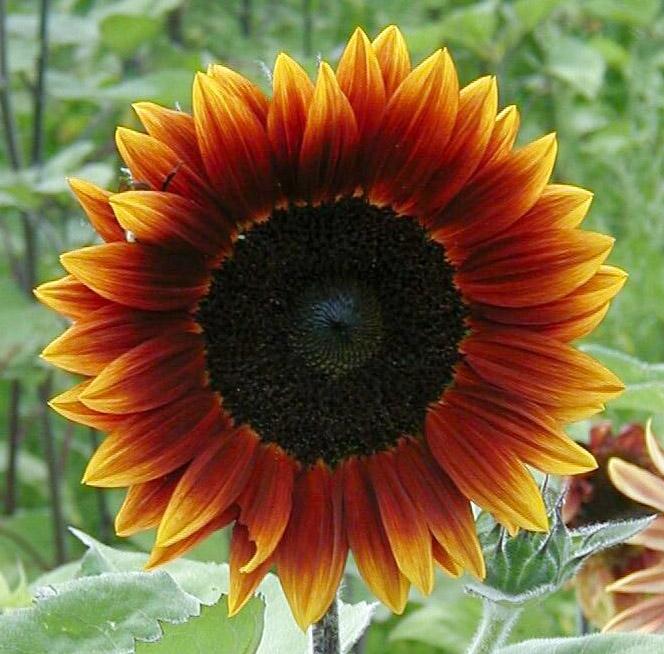 Earthwalker Sunflower