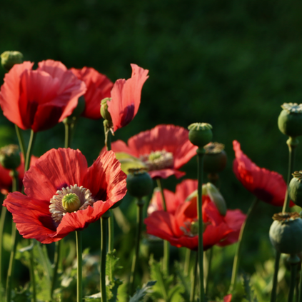 Red Poppies, Anne Bergeron
