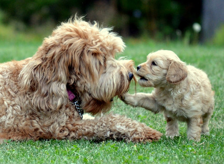 Your Labradoodle Puppy's sixth, Seventh, And eighth Week of Development