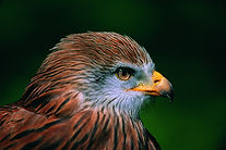 Red kite, Dyfi Biosphere, Wales