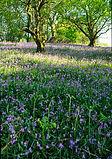 Bluebells, Dyfi Biosphere, Wales