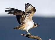 Osprey, Dyfi Biosphere, Wales
