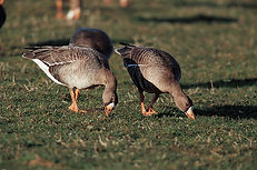 Greenland white fronted geese, Dyfi Biosphere, Wales