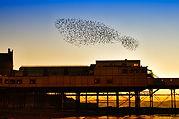 Starlings - Aberystwyth pier