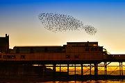 Starlings - Aberystwyth pier, Dyfi Biosphere, Wales