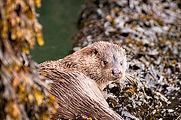 Aberdyfi Otter, Dyfi Biosphere, Wales