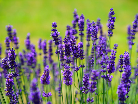 Mother's Day Lavender Essential Oil Sale!   May 2nd -May 9th