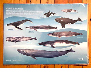 Whale poster(sm).jpg