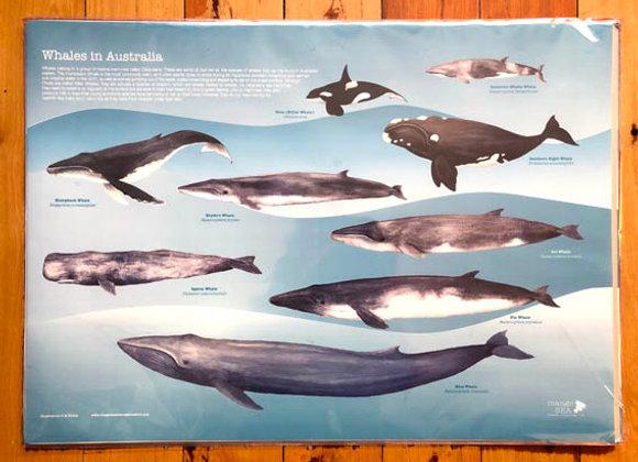 Whales of Australia Poster