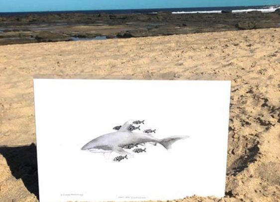 'Oceanic White Tip Shark' A3 unframed print