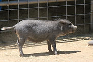 Piper pig 2020.jpg