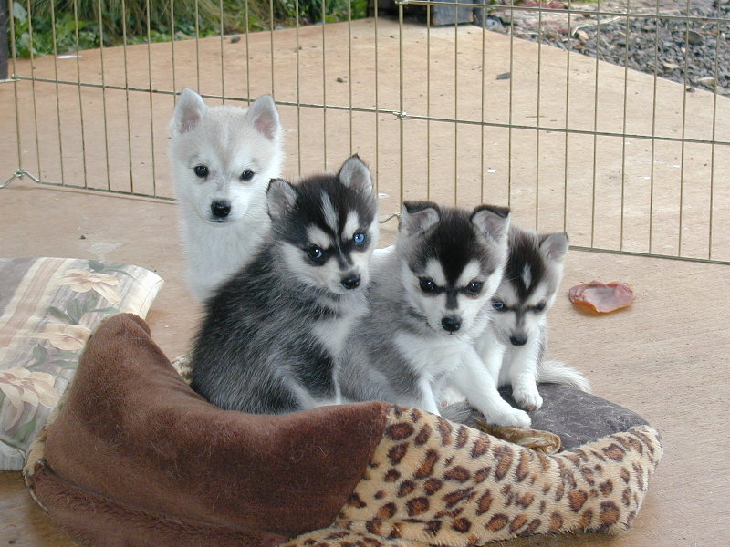 Alaskan Klee Kai Association Breeder Listing