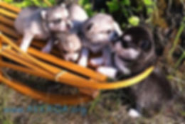 Alaska Klee Kai Puppies