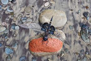 Beach Walk Dragonfly
