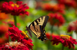 Butterfly and Red Zinnia