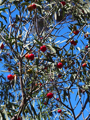 Quandong tree, St George