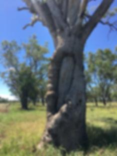 Scarred tree at Bungeworgorai