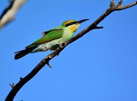 Rainbow Bee-eater, Cunnamulla