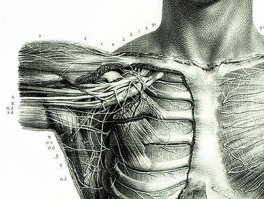 Image anatomique du plexus brachial