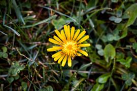 Faith gargano sunflower .jpg
