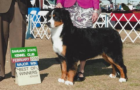 AKC GCH Bernese Mountain Dog