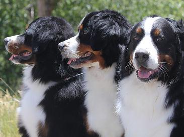 Bernese Mountain Dogs Colorado