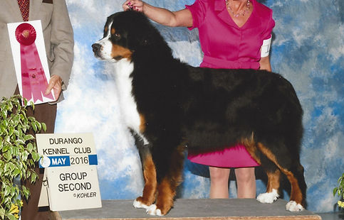 AKC Bronze GCH Bernese Mountain Dog