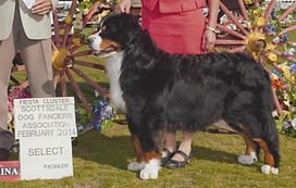 BMD Hannah showing for her AKC GCH
