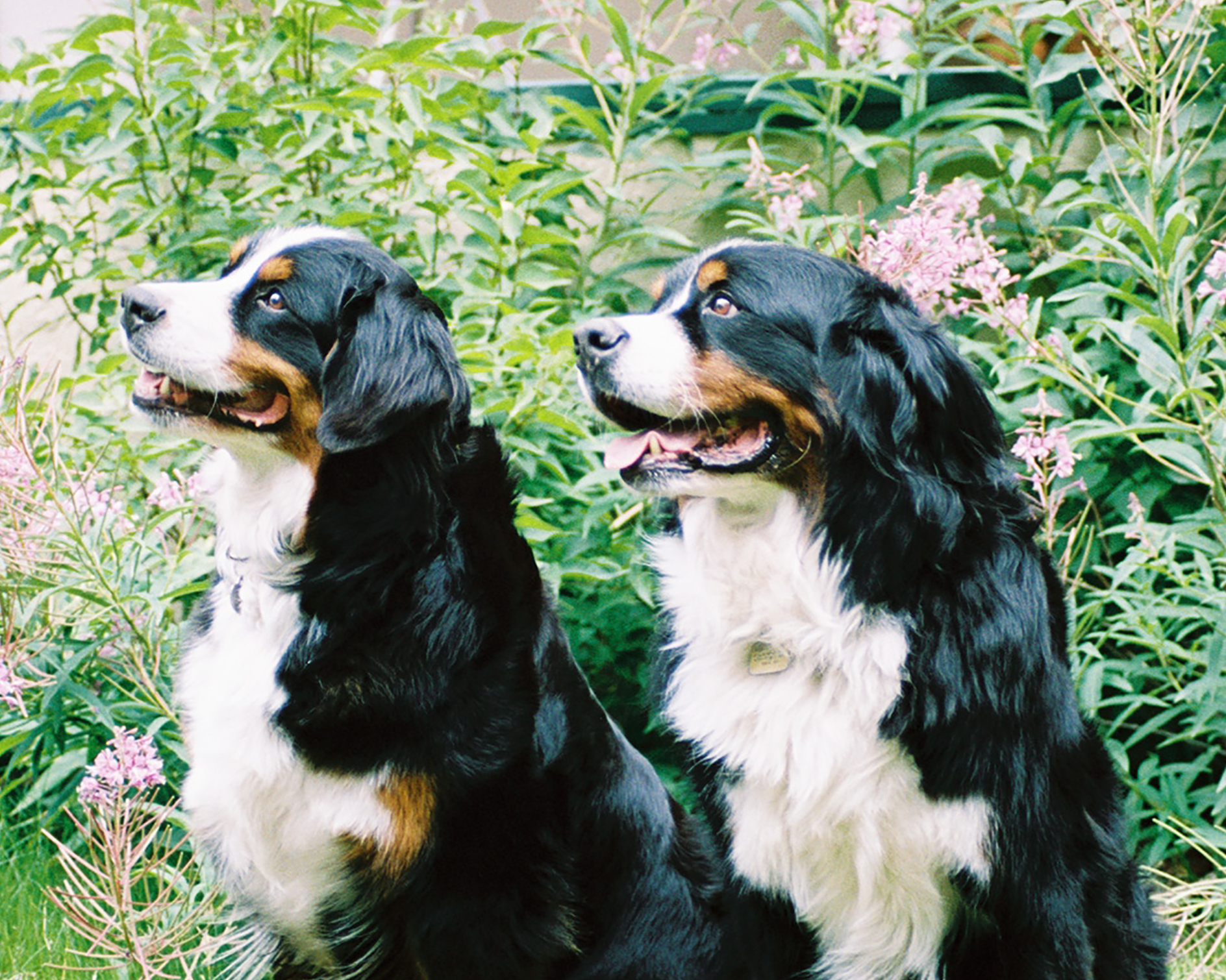 Tanzanite Bernese Mountain Dogs