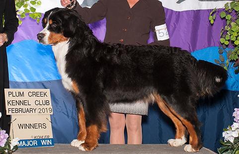 Devon - AKC Champion Bernese Mountain Dog