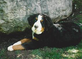 Pet Bernese Mountain Dog Willy