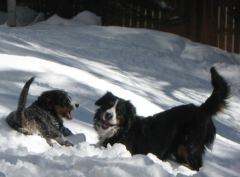 Berners playing in snow: Mystic & Kiva