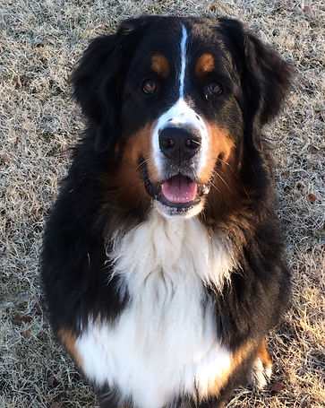 Beautiful pet Bernese Mountain Dog Emerson (Bernese Mountain Dog photo)