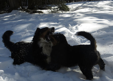 Berners playing in snow: Mystic & Henley