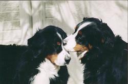 Tanzanite Bernese Mountain Dogs