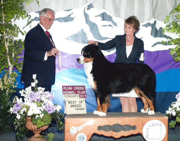 Bernese Mountain Dog - Best of Breed
