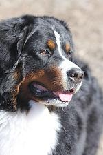 Bernese Mountain Dog AKC GCH