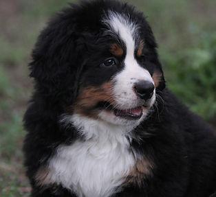 Bernese Mountain Dog puppy - Peak