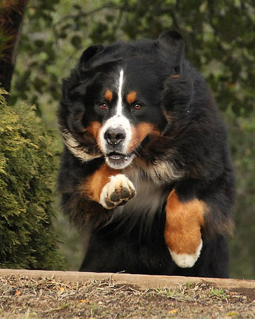 Novice Draft Dog BMD Tanzanite-Serenity's Enforcer NDD. Photo Credit Nick Hengeveld. (Bernese Mountain Dog photo)