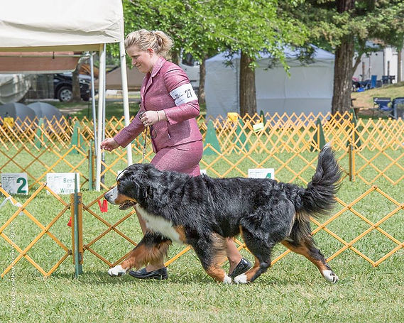 BMD Stud Dog CH Sapphire And Tanzanite Million To One Odds.  Photo Credit Cook PhoDOGraphy.
