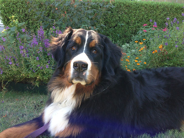 Pet Bernese Mountain Dog Emerson