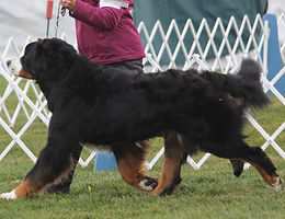 Litter sire GCHB Indian Ivanhoe From Orsina's Land CDX MXP MJP2 NFP GMDD