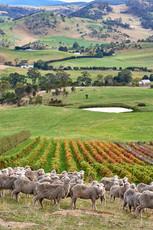 Invercarron Vineyard with sheep, StelaVino