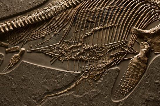Closeup: Ichthyosaur with Babies In Utero