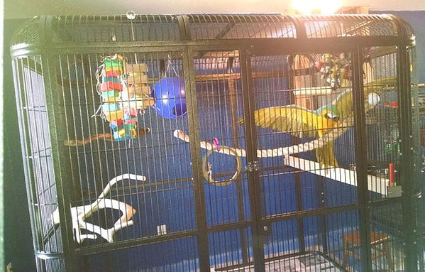 "Blue and Gold macaw enjoying the wing room in a Centurion 86"" wide x 62"" deep x 80"" high Walk in Aviary."