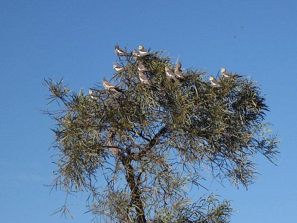 Cockatiels in the Australian outback seeking refuge at the top of a tree