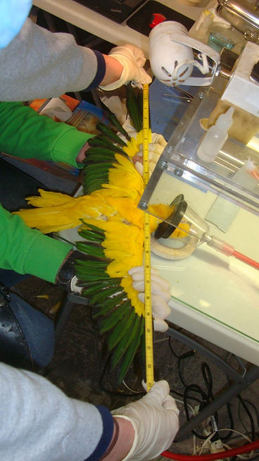 A bird being sedated to measure the wingspan