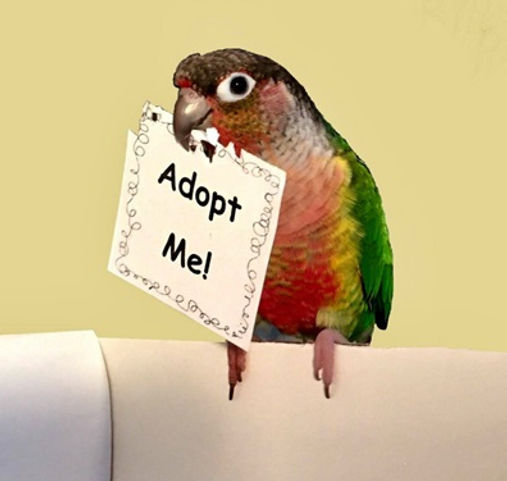 Green Cheek Conure with an Adopt Me sign